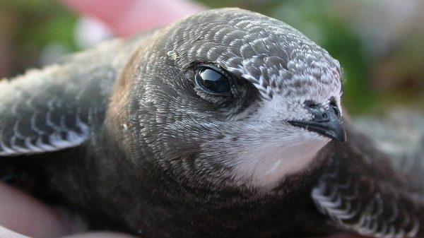 Bật mí những điều chưa biết về loài chim nhỏ - bay xa 1