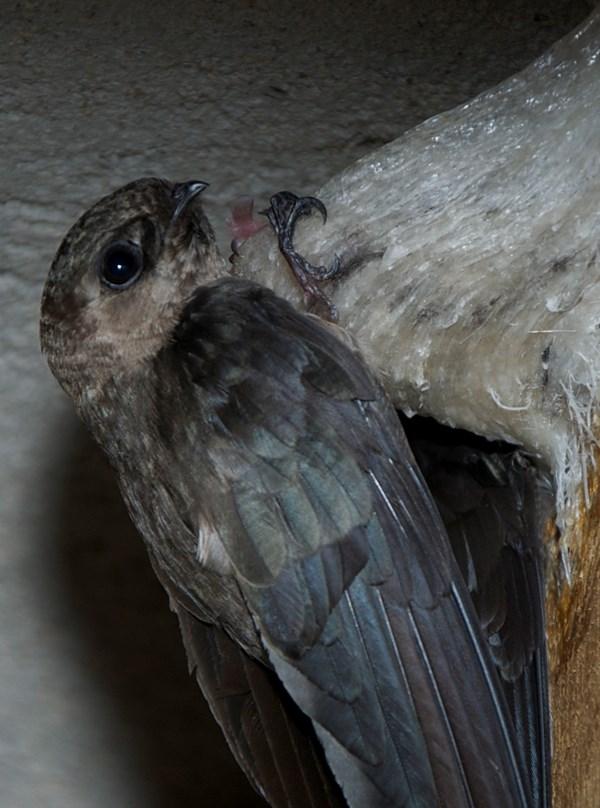 Khám phá điều chưa biết về thức ăn của loài chim yến 2