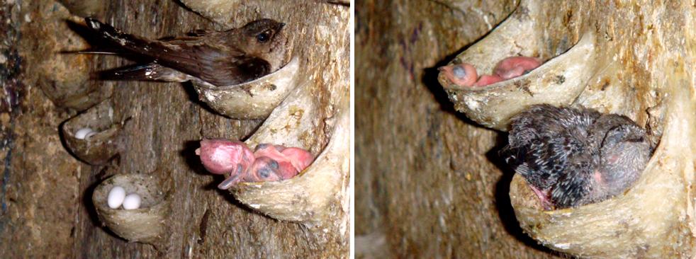 Khám phá điều chưa biết về thức ăn của loài chim yến 3