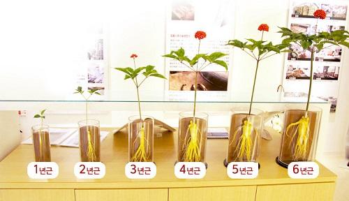 Hoa và quả Nhân Sâm có sử dụng được không ? 2
