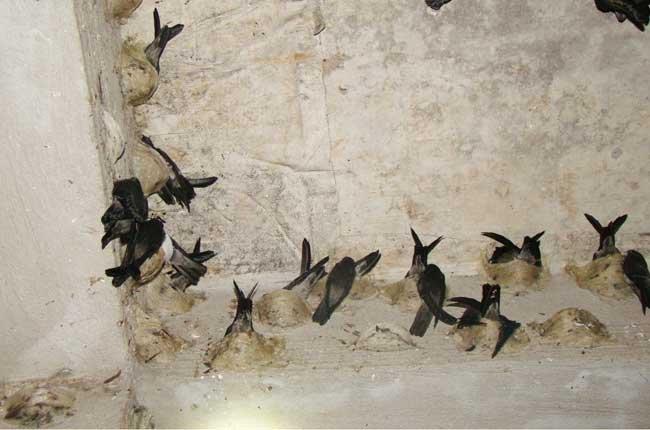 Làm thế nào dẫn dụ chim yến hoang dã về nhà nuôi 2