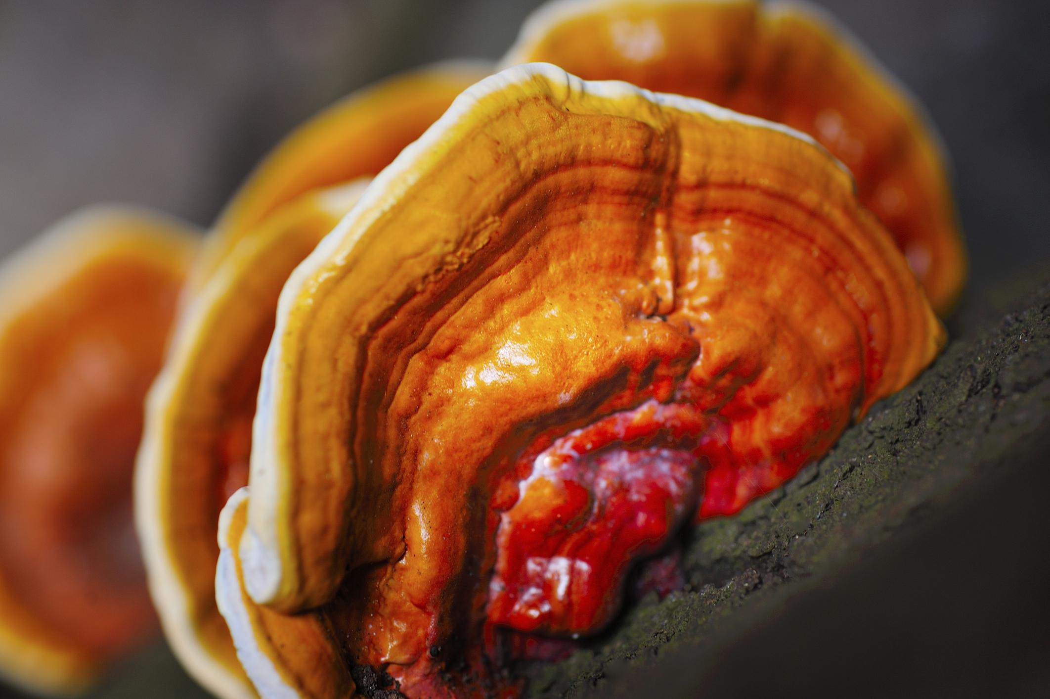 Làm thế nào để bảo quản Nấm Linh Chi tránh được mối mọt, ẩm mốc ? 2