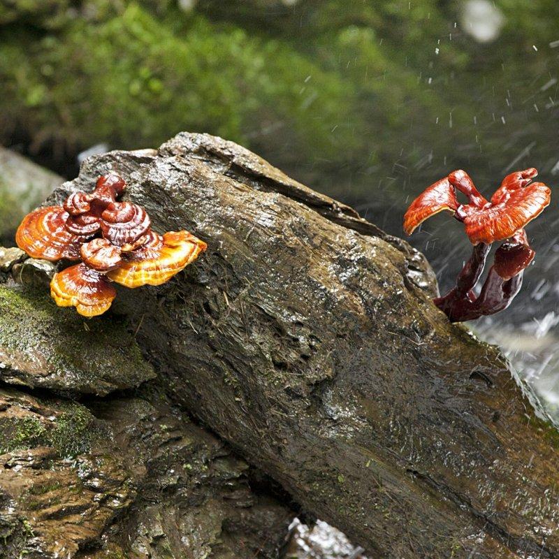 Nấm Linh Chi rừng trong tự nhiên có công dụng gì ? 6