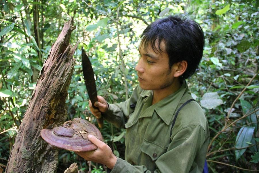 Nấm Linh Chi rừng trong tự nhiên có công dụng gì ? 4