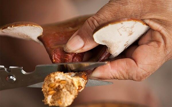 Điều kiện nào thích hợp để thu hoạch nấm linh chi ? 3
