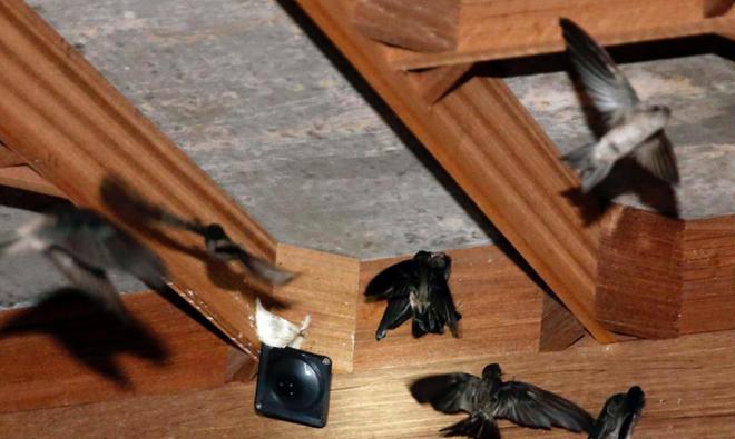 Xây nhà nuôi yến gặp thất bại, chim yến không về ở là do đâu ??? 3