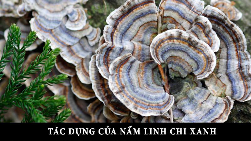 Hướng dẫn cách sử dụng và bảo quản nấm linh chi xanh (Thanh Chi) 1