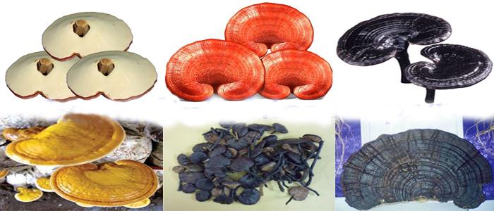 Nấm linh chi sau khi nấu để được bao lâu và cách bảo quản linh chi khô tránh bị hỏng 2