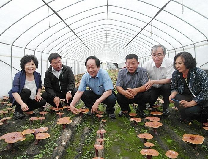 Khám phá kỹ thuật trồng nấm linh chi độc đáo của người Hàn Quốc 1