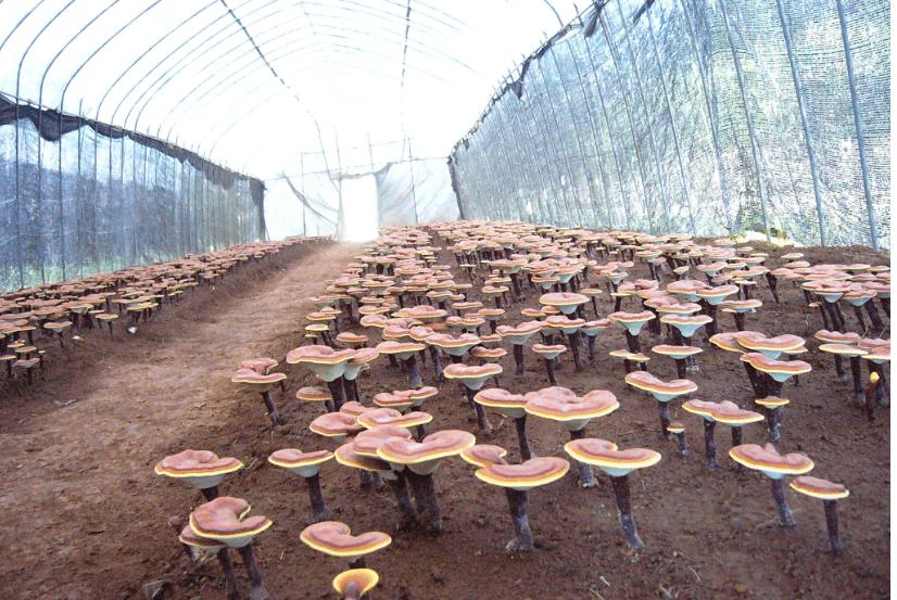 Khám phá kỹ thuật trồng nấm linh chi độc đáo của người Hàn Quốc 4