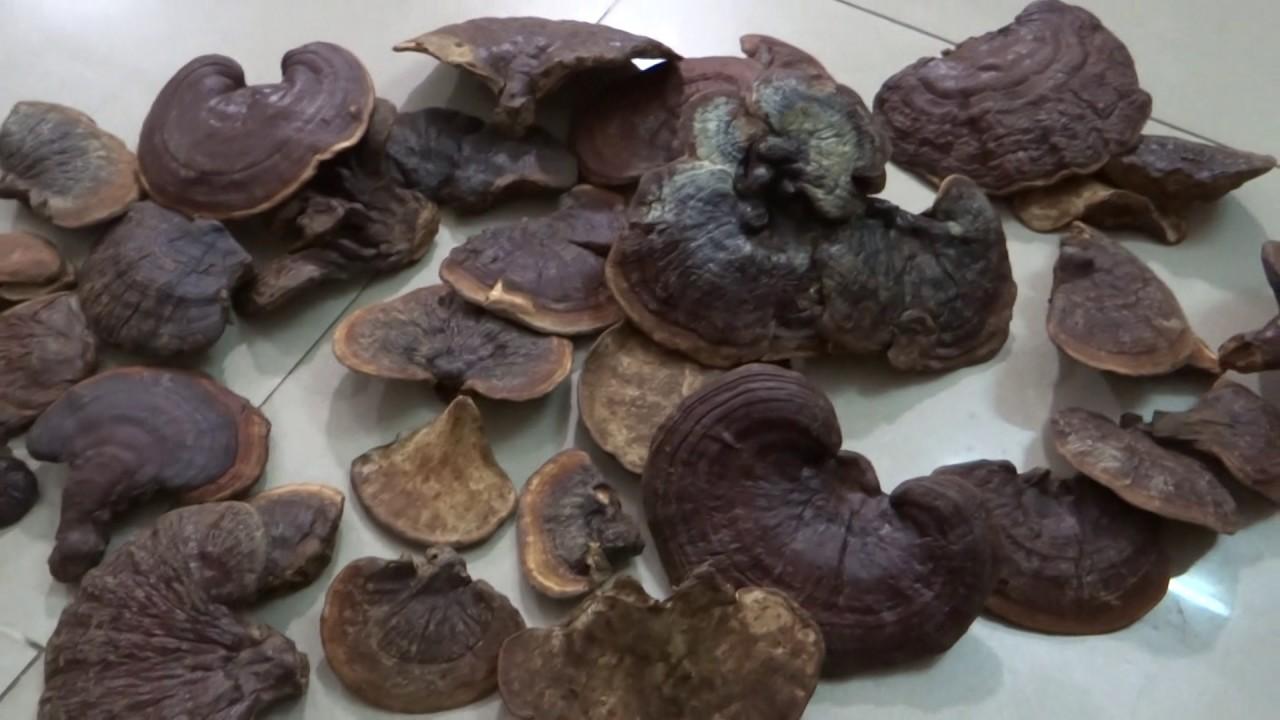 Nấm linh chi đỏ - Công dụng, cách dùng và cách bảo quản đúng nhất 4