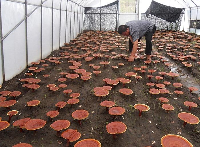 Khám phá kỹ thuật trồng nấm linh chi độc đáo của người Hàn Quốc 3