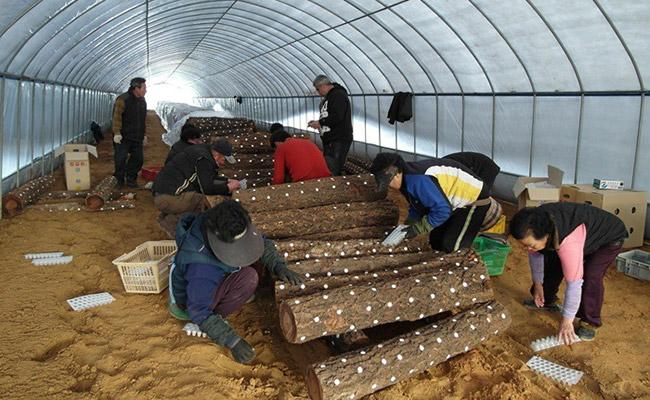 Khám phá kỹ thuật trồng nấm linh chi độc đáo của người Hàn Quốc 5