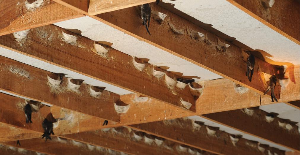 Cách dẫn dụ chim yến làm tăng sản lượng đàn yến 1